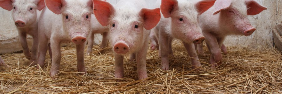 Examples of diets for the pigs