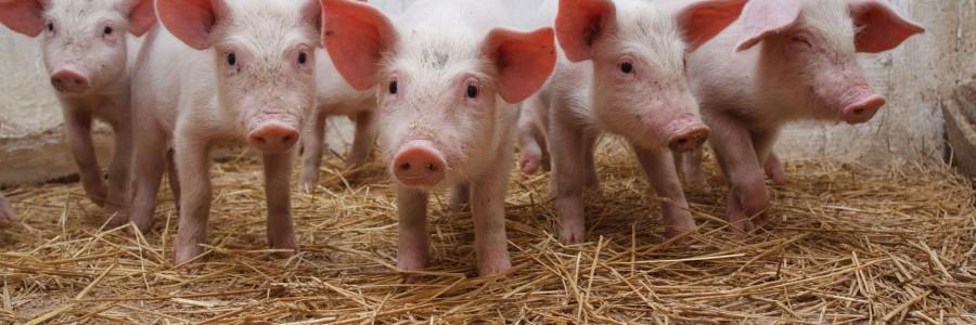 Exemple de ratiile pentru porci