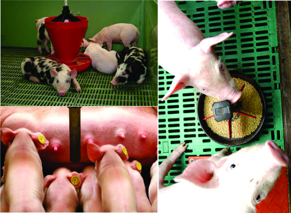 Ecla3C pigs