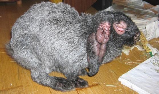 Лечение и профилактика миксоматоза у кроликов